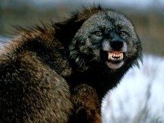 Actual wolverine