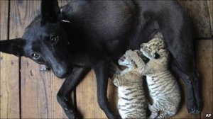 And here is a photograph of a dog nursing two young liger cubs... ok nature! I think we've messed with you enough!