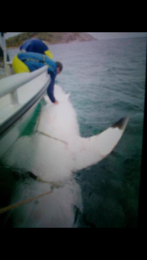 """Named """"Joan of Shark"""" this 1.6 tonne, 5.3m Great White Shark is the largest they've tagged."""